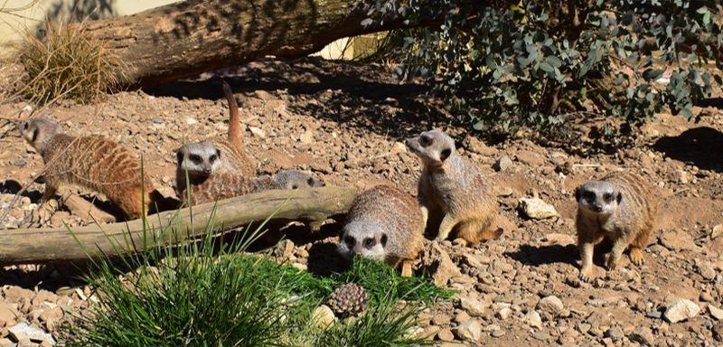 Filey Garden and Animal Park Meerkats